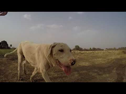 Bully Kutta dog with 4 month old puppies India - videosacademy com