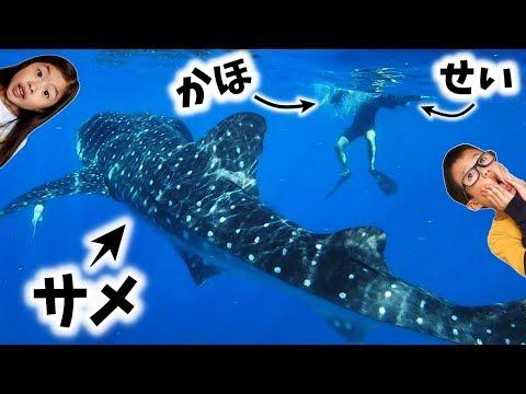 かほせい 巨大 サメと泳ぐ😲🦈海に落とされる~😱 世界一大きなサメ ジンベイザメ🦈 夏休み旅行