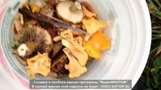 БЕЛЫЕ ГРИБЫ ?| Черные Грузди. Какие грибы есть в подмосковье?