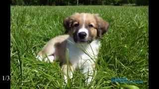 Austrian Pinscher puppy 9 weeks old - Oostenrijkse pincher puppy - Running at 100 fps slowmotion