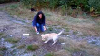 Gun Dog Labrador Puppy Training Week 2 (retrieve, Recall, Sit&stay, Down)