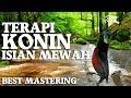 Terbaru Terapi Konin Isian Mewah Lyrebird Cililin Meningkatkan Mental Konin Paling Dicari  Mp3 - Mp4 Download