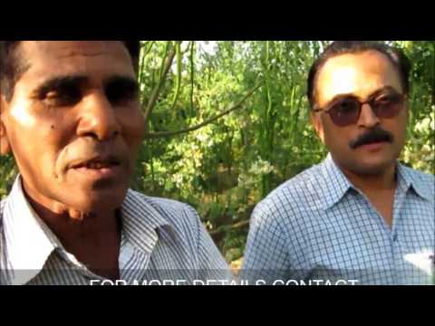 Organic Moringa or Drumstick farm at Baroda,Gujrat...