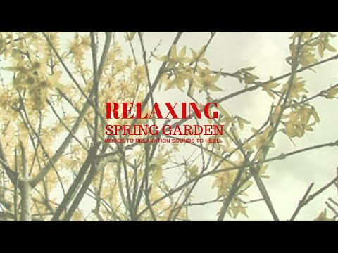 in the spring garden with forsythia relaxation chill out