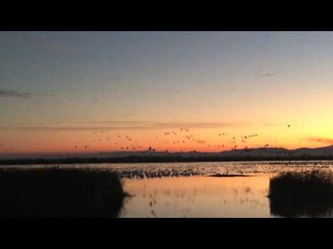 Massive flyoff at the Sacramento National Wildlife Refuge