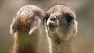 Brutal Guanaco fight for dominance | Wild Patagonia | BBC Earth