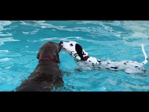 Dalmatian Puppy Learning to Swim