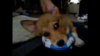 Gimli Pembroke Welsh Corgi Puppy Plays With Deflated Ball