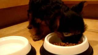 Yorkshire Terrier Yorkie Puppy Eating Royal Canin 29