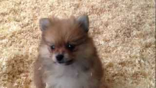 Pomeranian Puppies For Sale (empire Puppies)