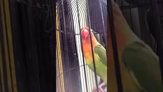 Pancingan Lovebird Fighter (DIJAMIN LANGSUNG NYAUT)