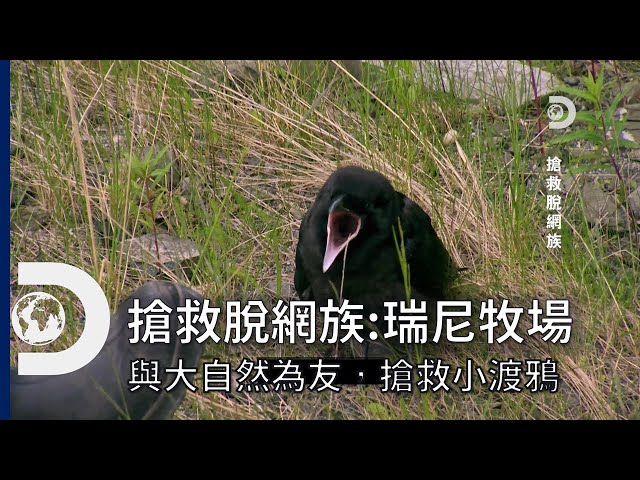 馬提爸爸講鳥語救援?搶救受傷的小渡鴉!即使是在墾荒,也別忘了與身邊的動物做朋友喔~《搶救脫網族 :瑞尼牧場》