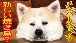 grandchild and #German Shepherd #dog#Akita Inu youtubeがお届けする...