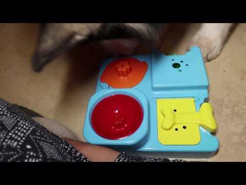 Alaskan Malamute IQ test toy