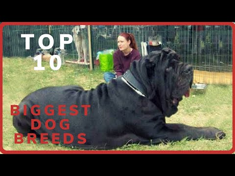 Biggest Dog Breeds In The World (2019)