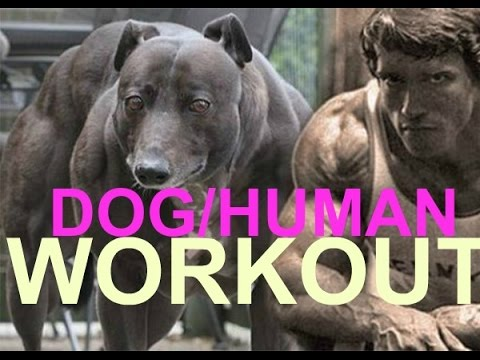 dog workout calisthenics no weights pitbull pit bull muscle bully conditioning ripped body building