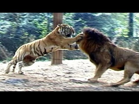 Lion Vs Tiger Who Would Win Animal Face Off Youtube