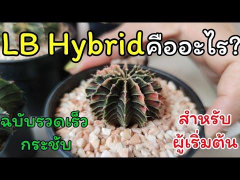 ยิมโน LB  hybrid คืออะไร? [ฉบับรวดเร็ว กระชับ สำหรับมือใหม่แคคตัส]