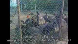 Emu Farm in Nellore Andhra pradesh