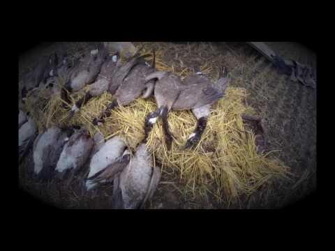 North Dakota Goose Hunting 2015. As Good As It Gets!