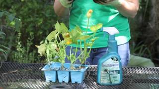 How to Treat Garden Pests on Summer Squash Plants : Garden Space