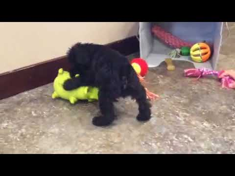 Murphy- schnoodle