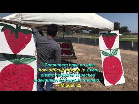 Migrant Workers Pick Strawberries in Oxnard, CA