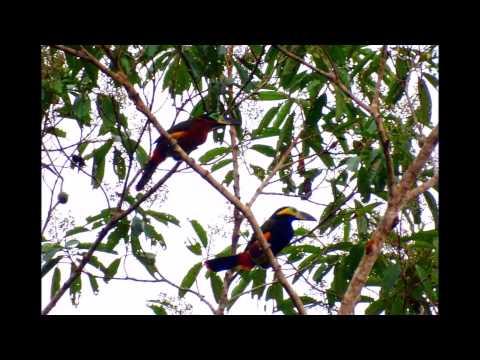 Selenidera reinwardtii - Rondônia (© Glauko Correa)