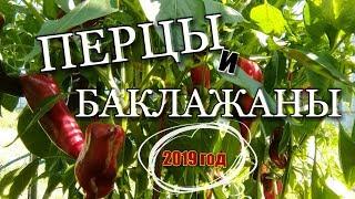 СЕМЕНА 2019 : ПЕрЦЫ и БаКлаЖаны на 2019 год/ обзор/ Московская обл./ #seed #pepper #eggplant