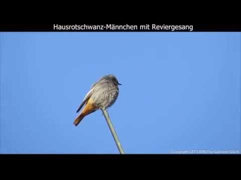 Hausrotschwanz mit Gesang - Black redstart singing - Phoenicurus ochruros (1080p HD)