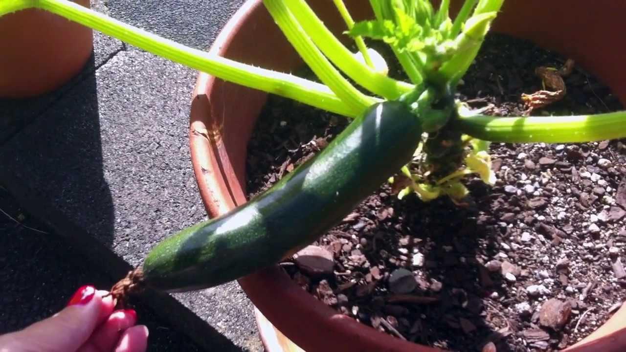 Can You Grow Zucchini In A Pot Youtube