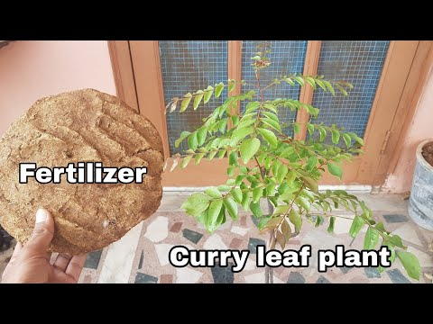 Curry leaf : Best Fertilizer for Curry leaf plant for healthy growth