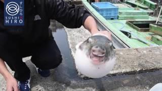 Risky Japanese Delicacy - Tora Fugu Preparation by Sushi Hiro Thailand