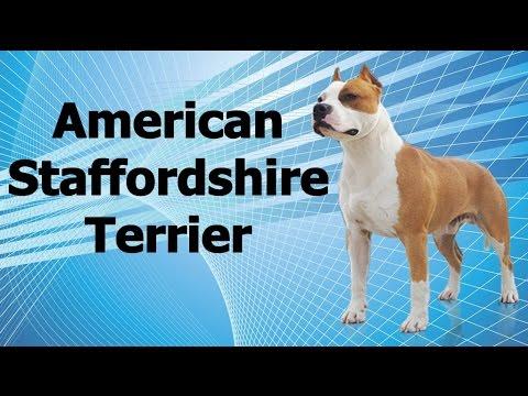 Guia de raças caninas - American staffordshire terrier