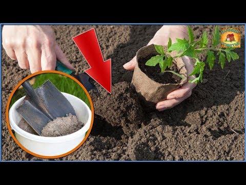 Вопрос: Можно ли в лунку для посадки помидор добавлять древесную золу, сколько?