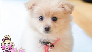 Our New Pomeranian Puppy Lottie Comes Home! - Violet Lebeaux Vlogs