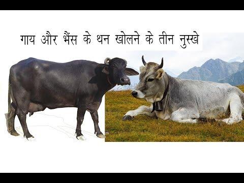 गाय और भैंस थन खोलने 3 घरेलु नुस्ख़े