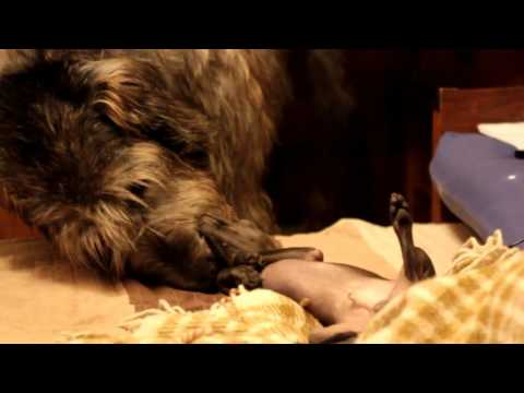 Italian Greyhound vs. Irish Wolfhound - MMA Fighters