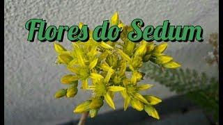 suculentas primeiras flores do sedum rupestris
