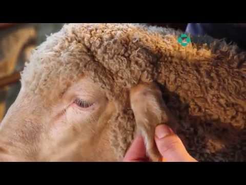 MSD Animal Health Sheep treatment techniques
