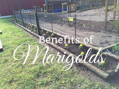 HD The Benefits Of Planting Marigolds in your Vegetable Garden
