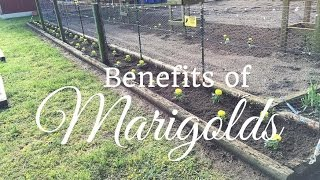 The Benefits Of Planting Marigolds in your Vegetable Garden