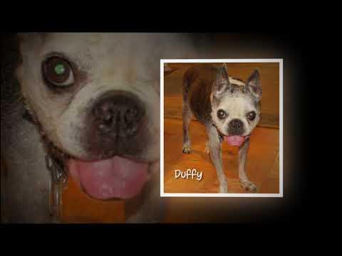 Old Dominion Boston Terrier Rescue 2017
