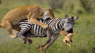 LIVE: OMG! King Lion surrender because The Power Of The Zebra Is Too Terrible, BBC Animals