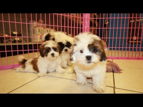 Teddy Bear, Puppies For Sale, In Columbia, South Carolina, SC, 19Breeders, Mount Pleasant, Sumter