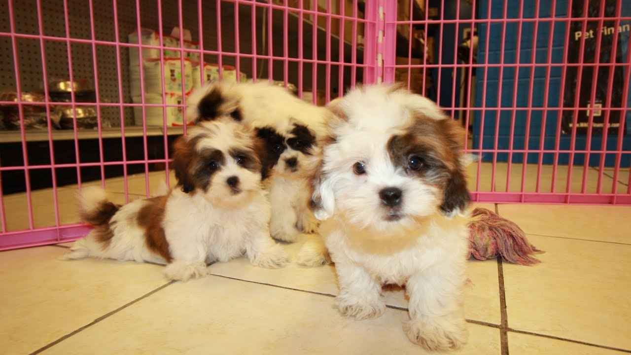 Teddy Bear, Puppies For Sale, In Columbia, South Carolina ...