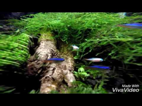 Aquascape - Aquarium Moss: Java Moss, Flame moss, Taiwan ...