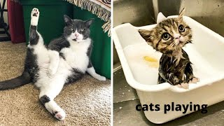 Funny and cute videos of cats playing try not to laugh