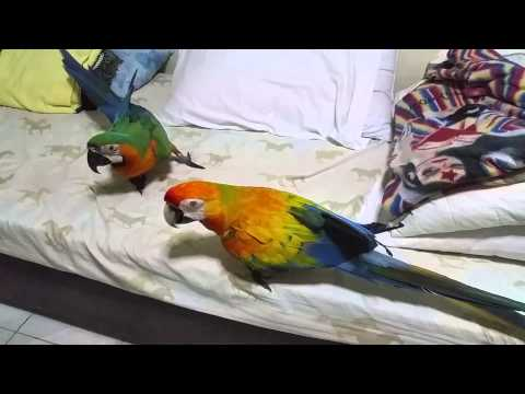 Capri macaw Melon and Catalina macaw Rama