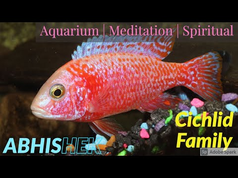 Cichlid Tank Mates, Red Parrot, Knifefish, Severum